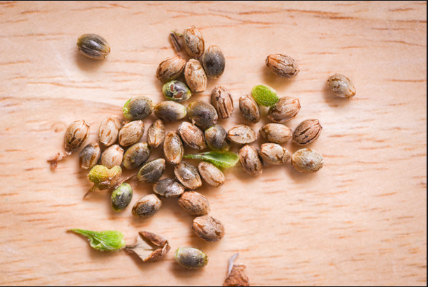Credible Cannabis seeds Is The Only Partway To Abundant Health